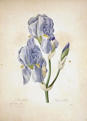 Pierre-Joseph Redouté, Scelta dei fiori più belli, Foglio 101