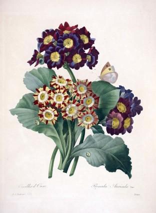 Pierre-Joseph Redouté, Scelta dei fiori più belli, Foglio 1