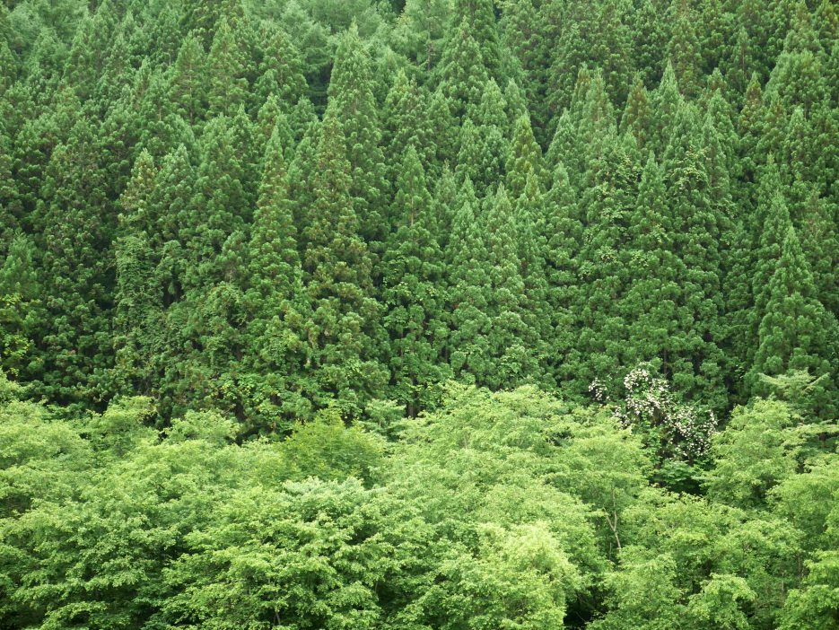 giappone_takayama_trees4